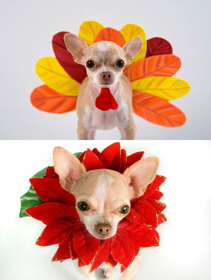 Thanksgiving Christmas Chihuahuas